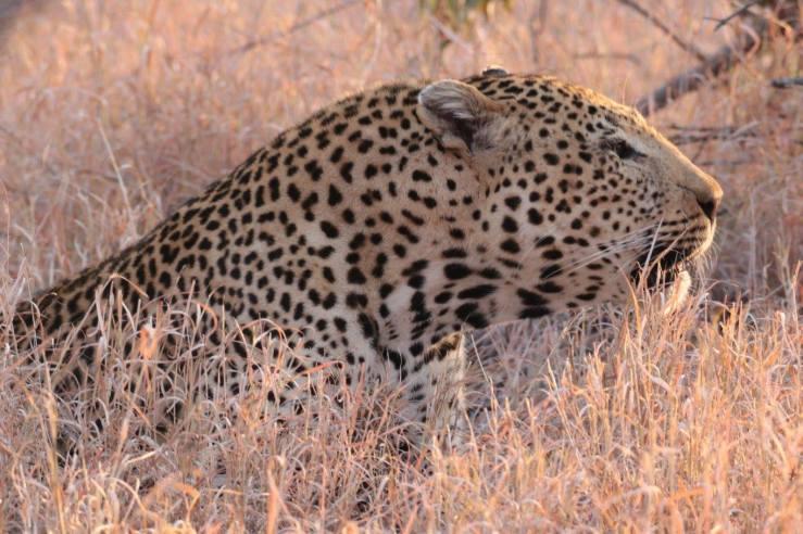 leopard2