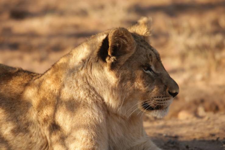 lion teen 3