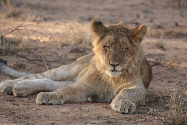 lion teen2